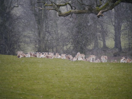 Fallow deer during a flurry of snow in Dallam Park