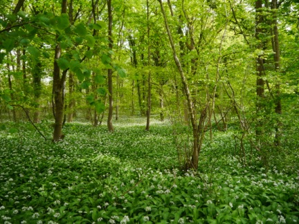 The floor of Fleagarth Wood was covered in wild garlic