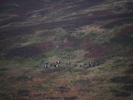 A small herd of Belted Galloway in Croasdale
