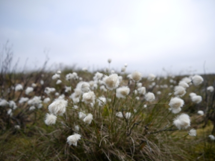 Cotton grass on Fiendsdale