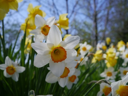 Daffodils near Claughton
