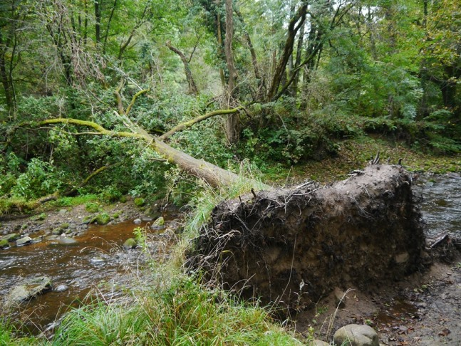 A fallen tree across the River Brock