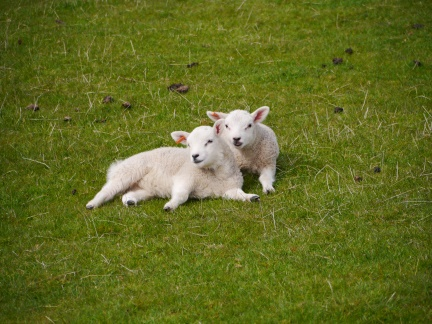 A pair of lambs enjoying the hazy sunshine