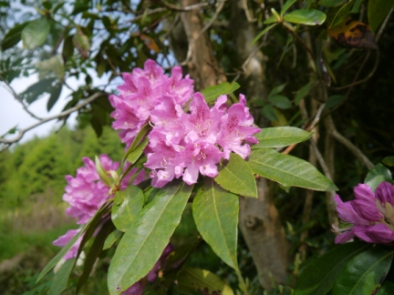 Rhodedendron near the water works