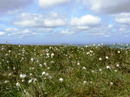 Like many of the nearby hills the top of Windy Gyle is covered in cotton gras