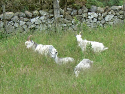 The wild goats of Yeavering Bell