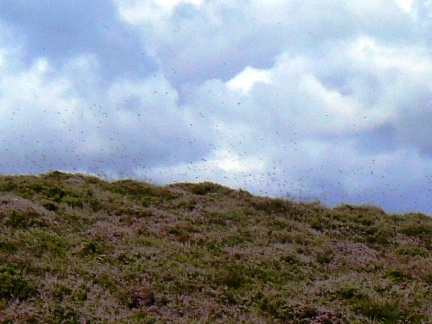 The small patches of heather on White Law were infested with flies