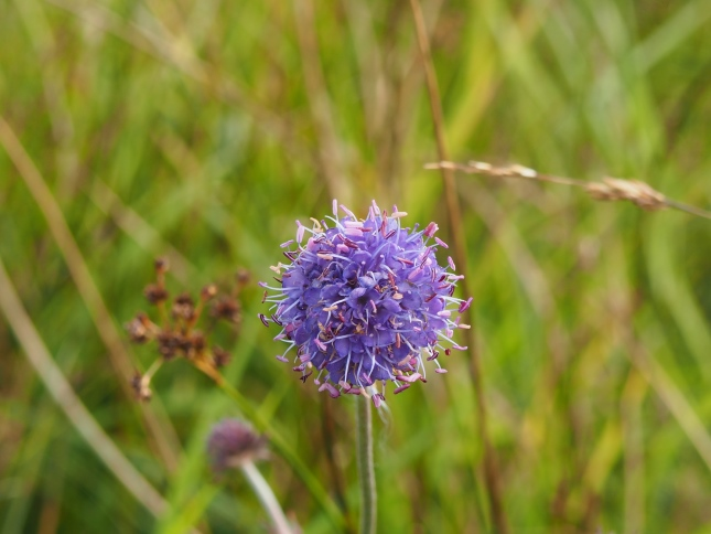 Some Devil's Bit Scabious I spotted growing alongside Edge Lane