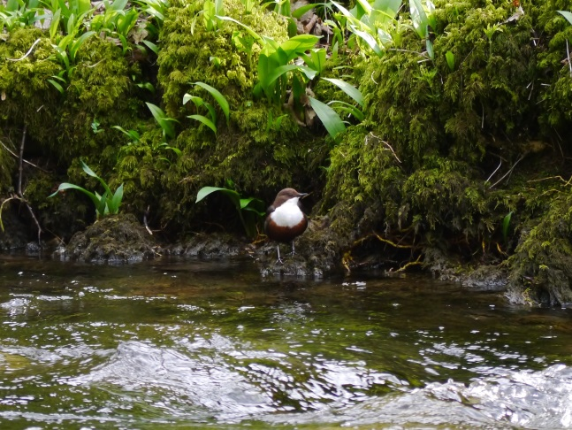 A dipper by Gordale Beck