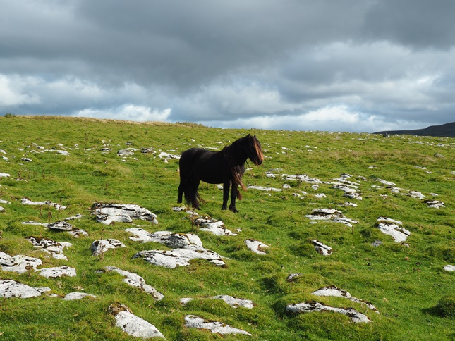 A fell pony on Angerholme Wold