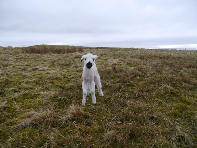 The course of my walk changed when I found this tiny lamb all alone on the fell
