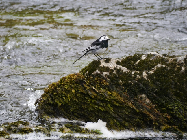 A pied wagtail on Malham Beck