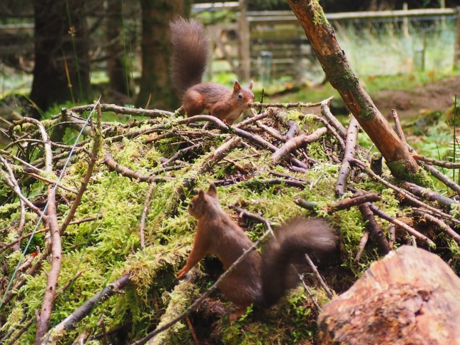 Red squirrels at the viewing area near West Field