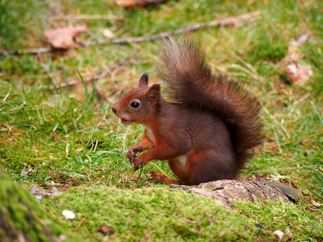 Another of the red squirrels