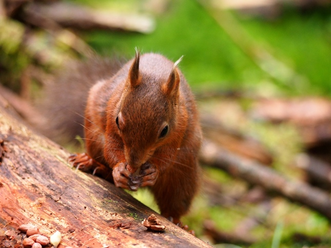 One final red squirrel photo