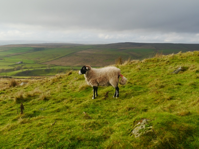 One of the locals with Hebden Moor in the distance