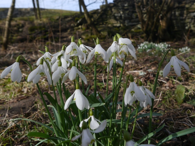 Snowdrops by the River Cover
