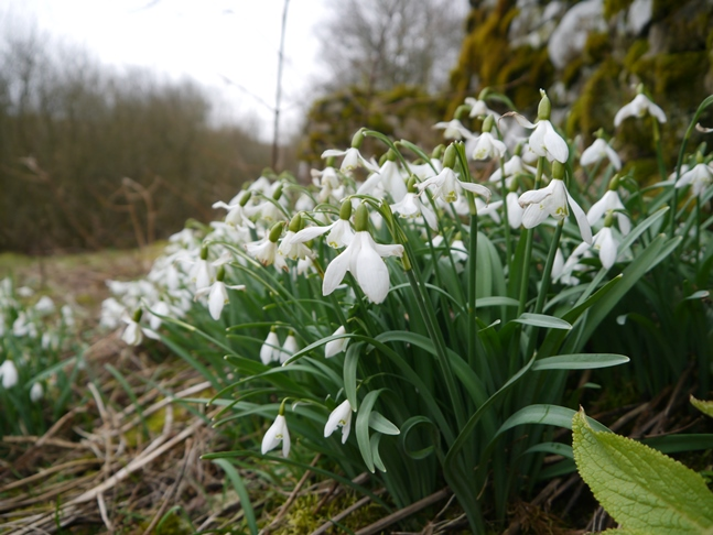 Snowdrops above Bardale Beck