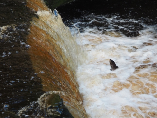 A salmon about to try and leap Stainforth Force