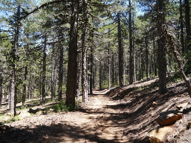 Path through the forest of black pine