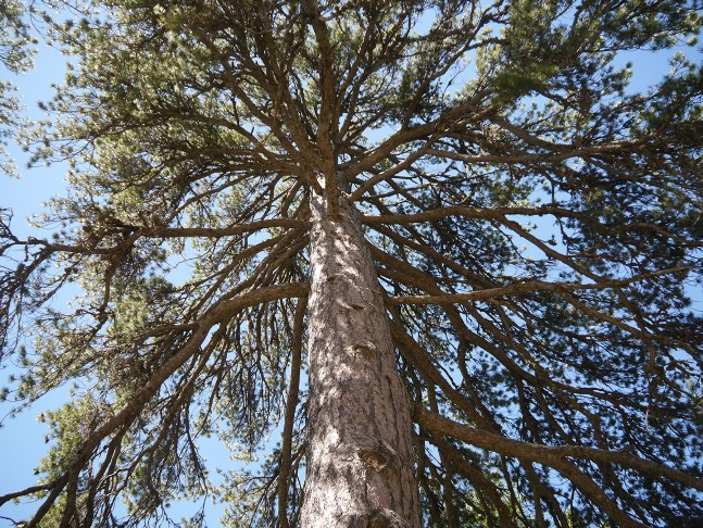 The large black pine at the start of the route from Troodos