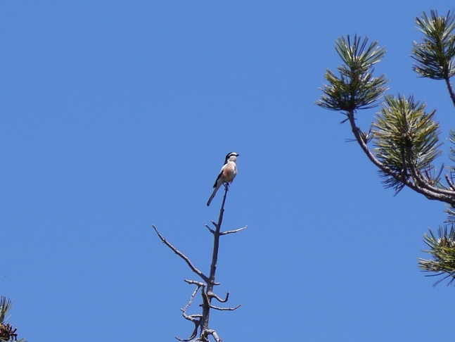 A masked shrike, one of a number of different birds we saw