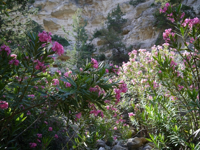 More oleander at the entrance to the gorge