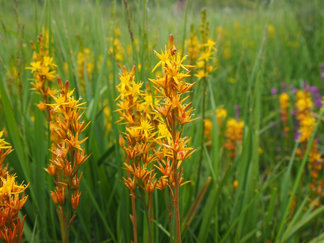 A common feature of the early stages of the walks was the copious amounts of bog asphodel