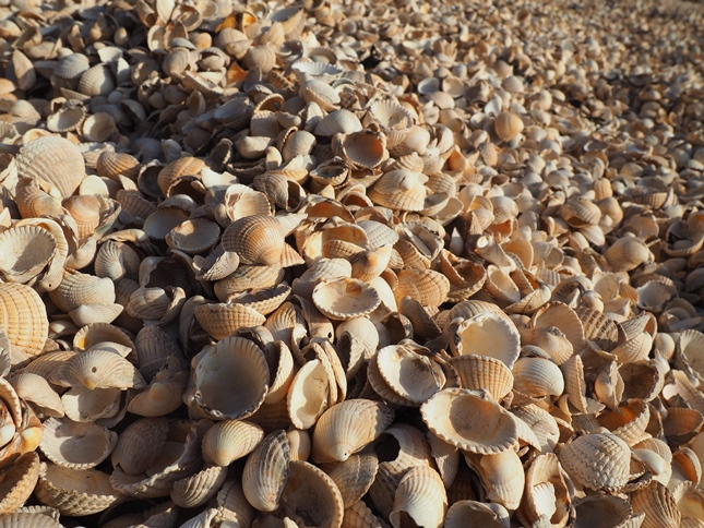 An amazing beach of shells at Kippford