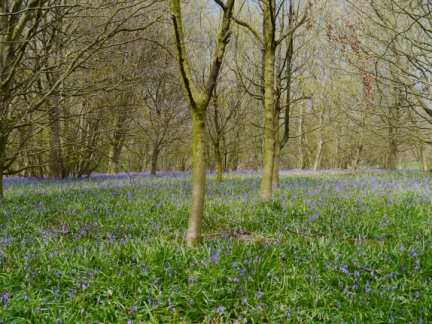 Bluebells in Hollybank Wood