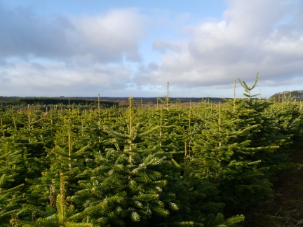 A plantation of small Christmas trees