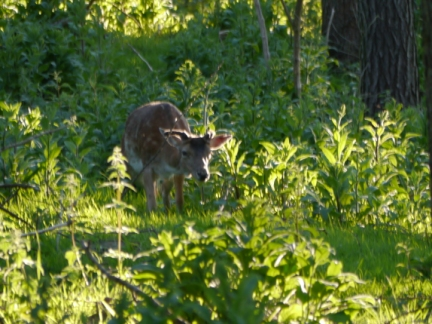 A fallow deer in the woods