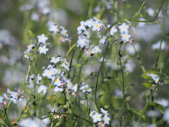 Just some of the many forget-me-nots that I saw on the walk
