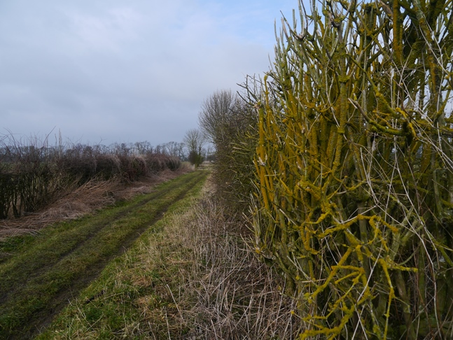 A hedge and the bridleway alongside Myton Pasture
