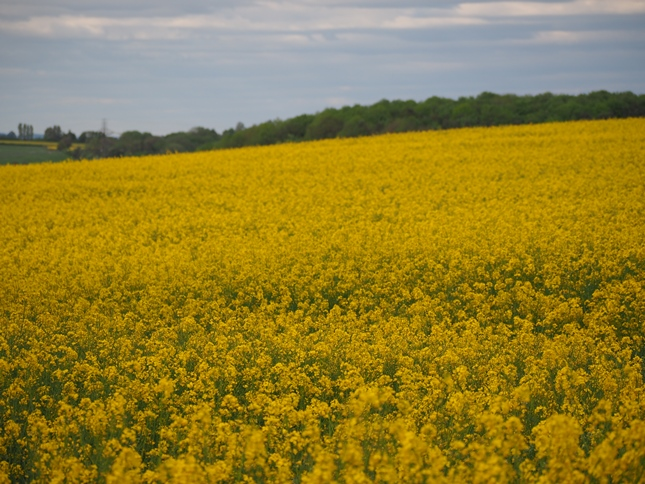A field of rapeseed at the end of Preston Bottoms Lane
