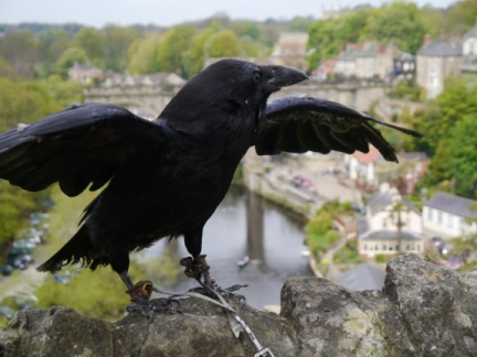 One of the castle ravens