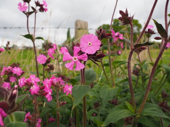 Red Campion on the path leading to the riverbank path
