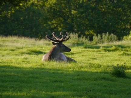 A reindeer enjoying the evening sunshine
