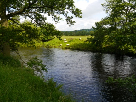 Sheep grazing on the banks of the Nidd