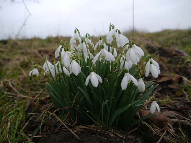 Snowdrops by the River Swale