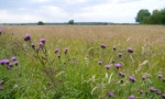 Thistles on Forest Moor
