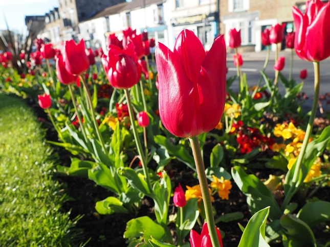 Tulips in High Harrogate