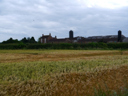 Looking across a barley field to Westwick House Farm