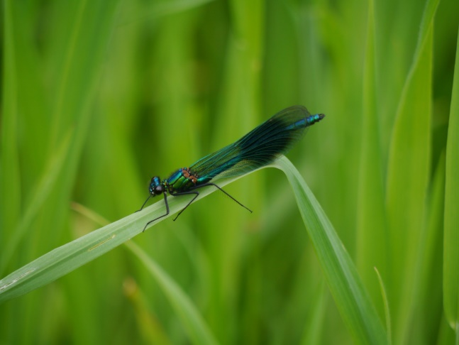 A Banded Demoiselle