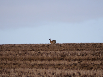 A hare on Caulkleys Bank