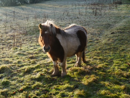 One of two ponies I passed in a small paddock