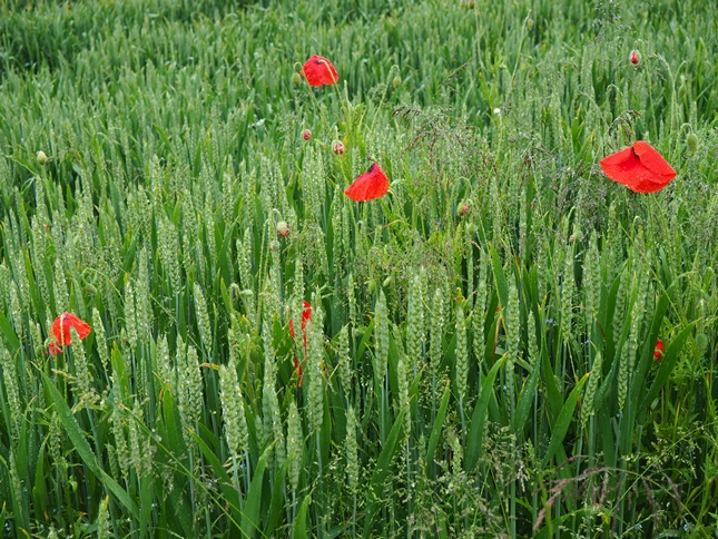 Some soggy poppies near Woodfield Farm