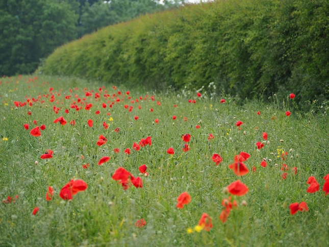 Poppies below Milking Hill