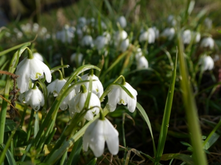 Snowdrops near West Ness