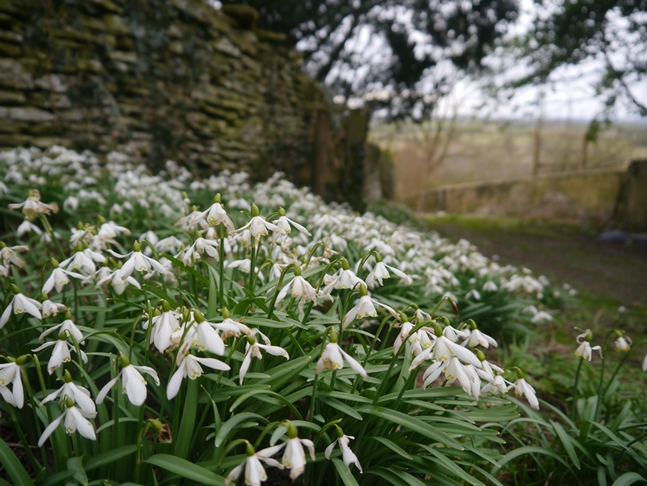 Snowdrops on the lane outside St Peter's Church, Dalby
